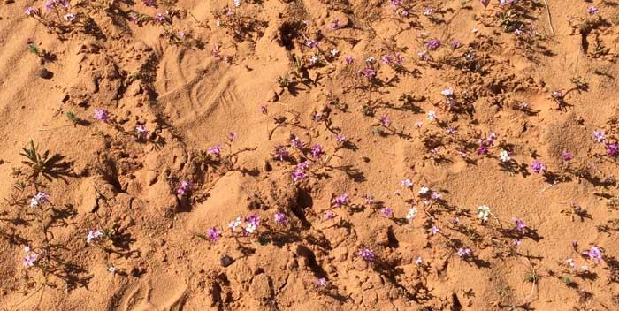 Baby purpleflowers