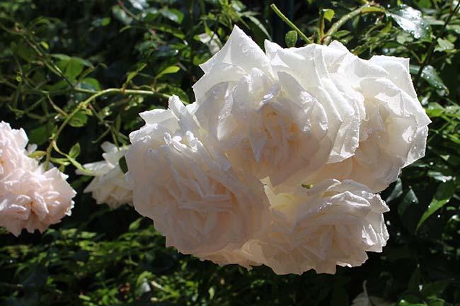 Balcony rose