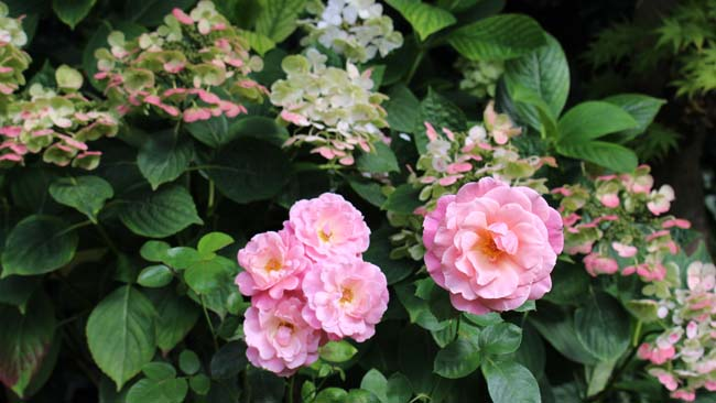 Pink roses and hydrangea