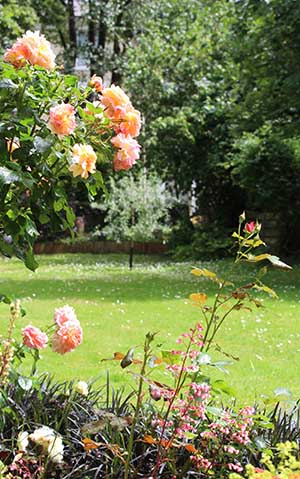 Rose with pear tree in background 07-16 copy