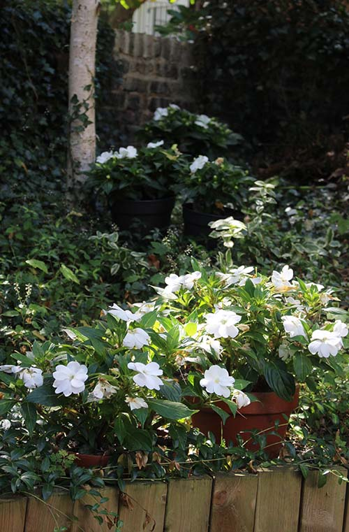 back garden with white new guineas