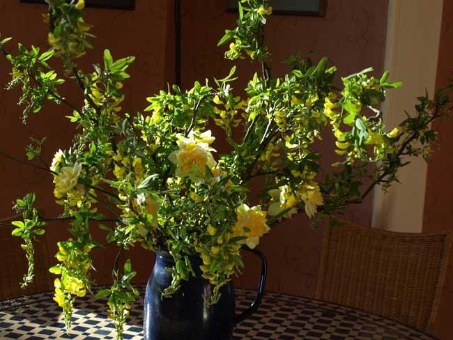 Laburnum and daffodils